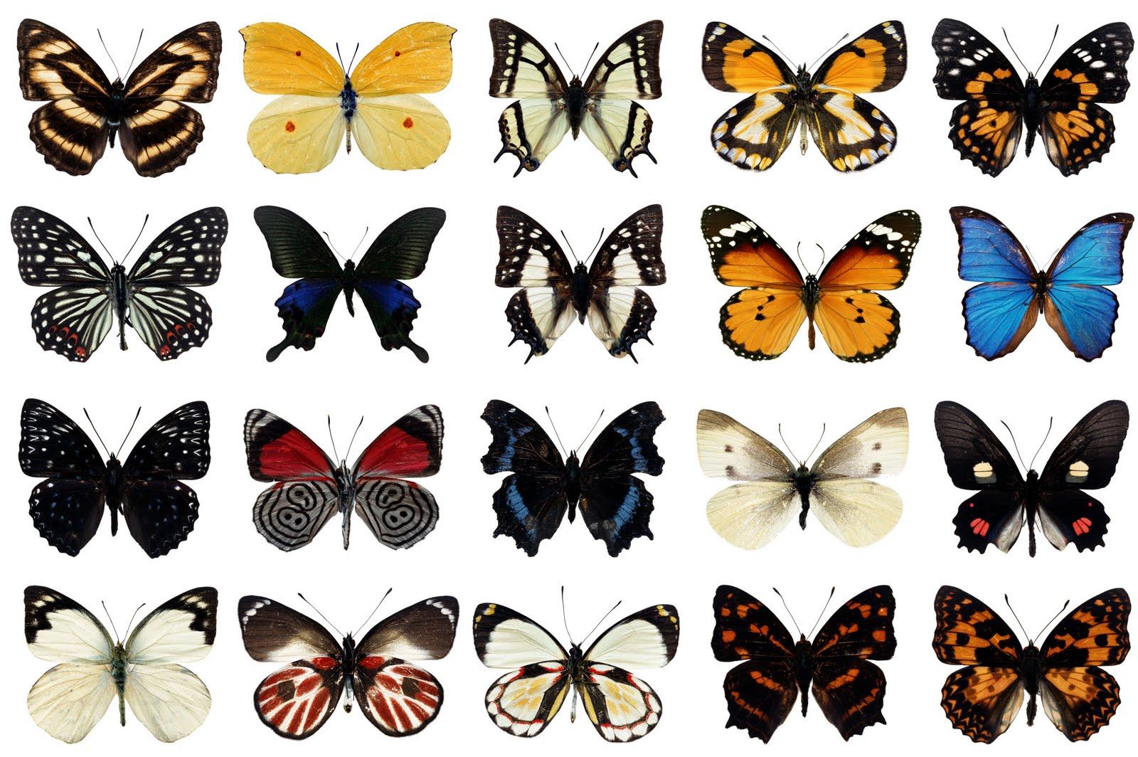 borboletas_etimologia_perisse