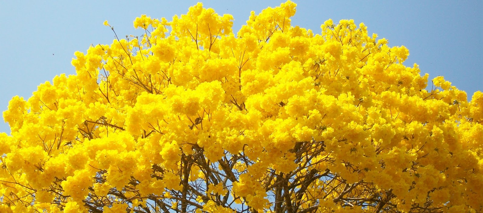 ipe-amarelo-e1408382927745